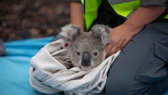 koala_return_in_nature