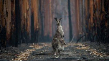 australia_fire_kangaroo