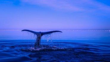 ουρά φάλαινας