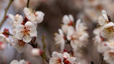 Ανθισμένα άνθη κερασιάς, Ιαπωνία