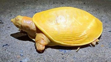 kitrini-xelona-albinismos
