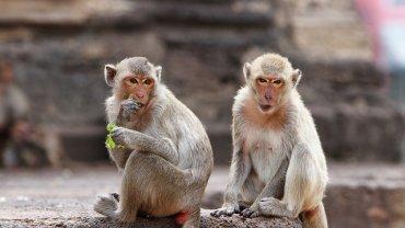 monkeys_in_thailand