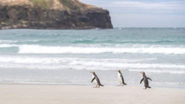 penguins_in_new_zealand