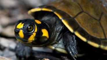 turtle-agriazwi-amazonios-brazilia