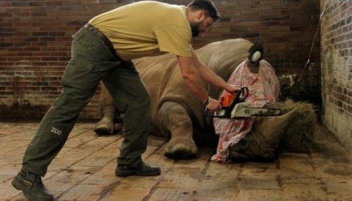 Ο Παμίρ, ένας ρινόκερος 10 ετών που ζει σε ζωολογικό κήπο της Τσεχίας, υποβάλλεται σε επέμβαση αφαίρεσης του κεράτου του