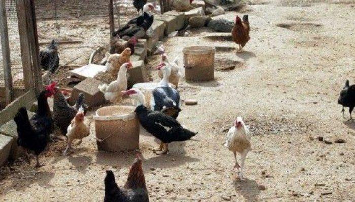 Και τα 150 πτηνά της φάρμας πέθαναν από τη νόσο μέσα σε λίγες ημέρες