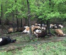 Το Σάββατο, ο κτηνοτρόφος Jared Blackwelder πήγε, όπως κάθε μέρα, στο χωράφι του για να διαπιστώσει πως ένας κεραυνός είχε σκοτώσει το 1/4 του κοπαδιού του
