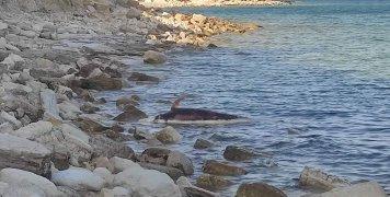 Νεκρό δελφίνι σε σήψη ανάμεσα σε Αγιά Φωτιά - Άγιο Γιάννη
