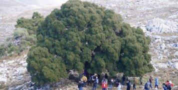 Ένας από τους 50 περίπου Δρύς στο Φλώρι. Το συγκεκριμένο μνημείο της φύσης για να αγκαλιαστεί χρειάζεται τέσσερις ανθρώπους