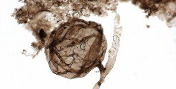 το αρχαιότερο απολίθωμα μύκητα