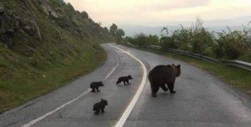 Η βόλτα μιας οικογένειας αρκούδων στη Φλώρινα