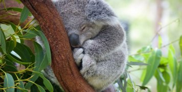 koala_oualia