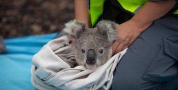 koala_return_in_nature