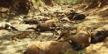 νεκρά άγρια άλογα