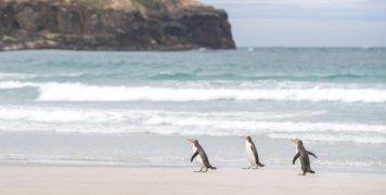 penguins_in_new_zealand