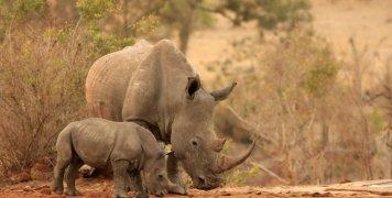 λευκοί ρινόκεροι