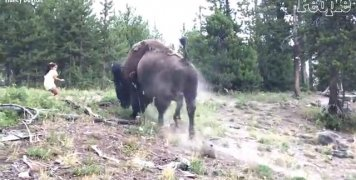 yellowstone_national_park_bison